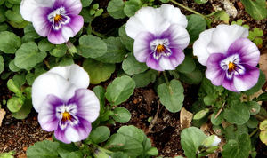 pansy purple2: white with purple faced garden pansies