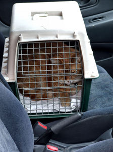 not happy2: cat in cat-cage being taken to the vet