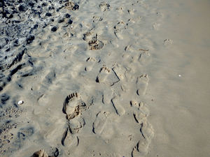 footprints in the sand1: barefooted footprints in damp beach sand