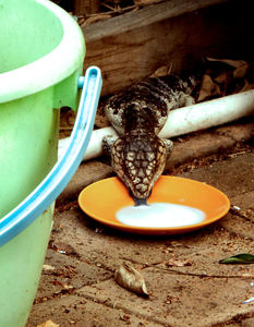 milk in the morning1: common Australia shingleback skink drinking from a saucer of milk on back patio
