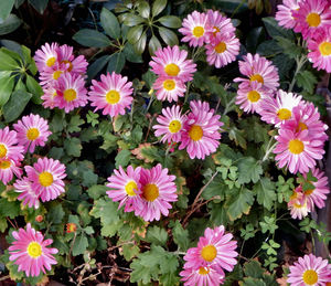 mother's day pink1: Mother's Day pink coloured chrysanthemums
