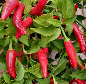 chilli growth3: small strong and hot bird's eye chilli potplant abundantly covered in fruit