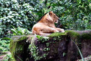 relaxed lioness: relaxed reclining lioness