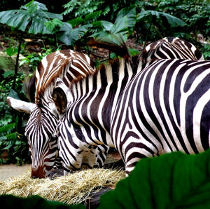 Z = Zebras3: Grant's plains zebras grazing in zoo - black & white plus brown & white
