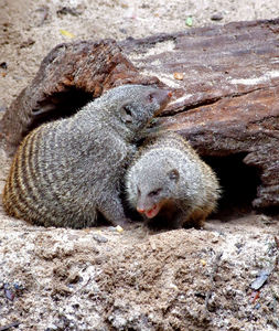 banded mongoose colony5: social and active banded mongoose interaction