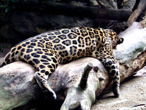 jaguar stretch3: relaxed sprawled out jaguar from the Americas