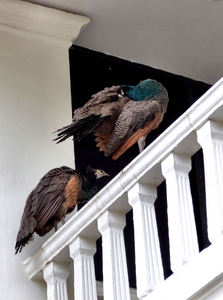 peahens above2: peahens perched on upstairs balcony balustrade