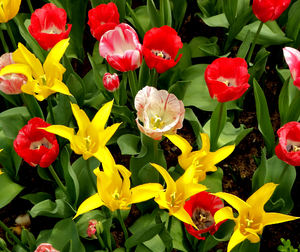 flower dome tulip display27: tulip display in Singapore's flower dome