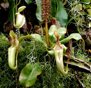 carnivorous plants8: Singaporean pitcher plant colours and varieties