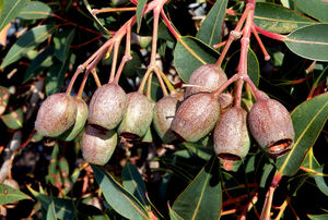 gumnut abundance2: Australian eucalypts - gum trees - young seed pod clusters