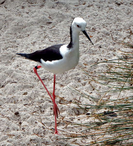sleek & slim stilt: long beaked foraging black-winged stilt