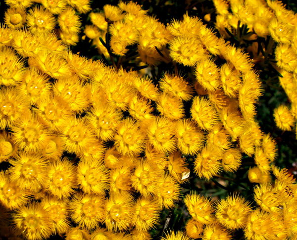 fine feathered flowers: colourful display of golden feather flowers in suburban garden