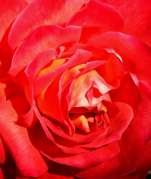 rose petal red: bright red rose with slight tinge of yellow