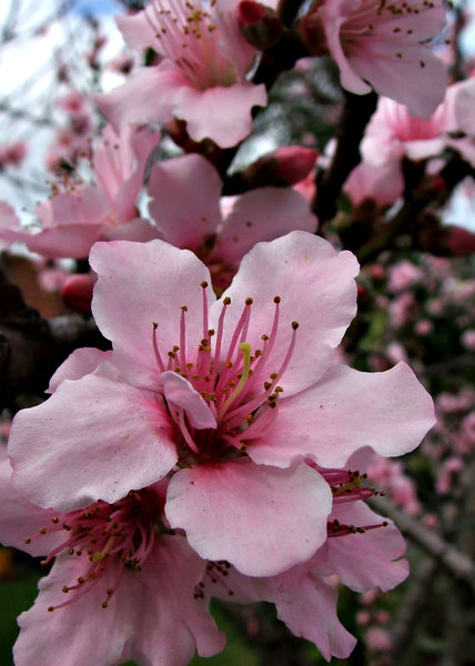 flowering plum tree: Spring display of blossoms on flowering plum trees