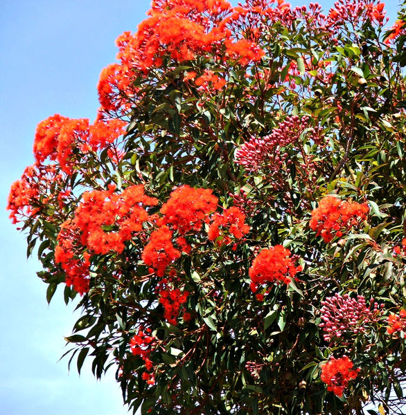buds and blossoms - red: flowering red gum buds blossoms