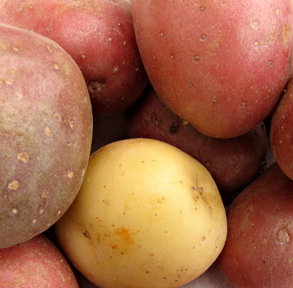 potatoes: a small selection of young, small potato varieties