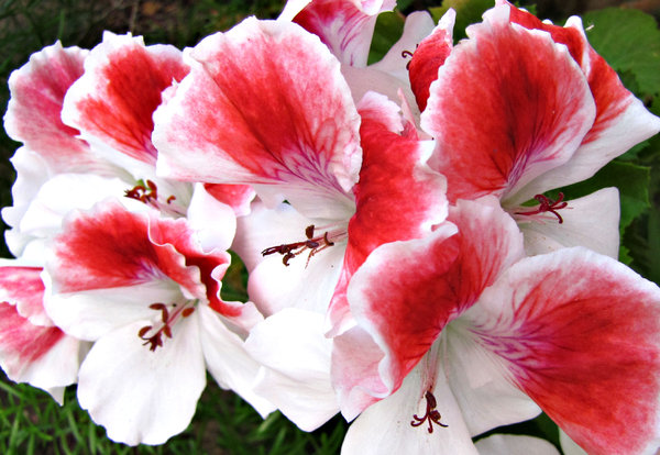 pelargonium red & white: red and white pelargonium/geranium blooms