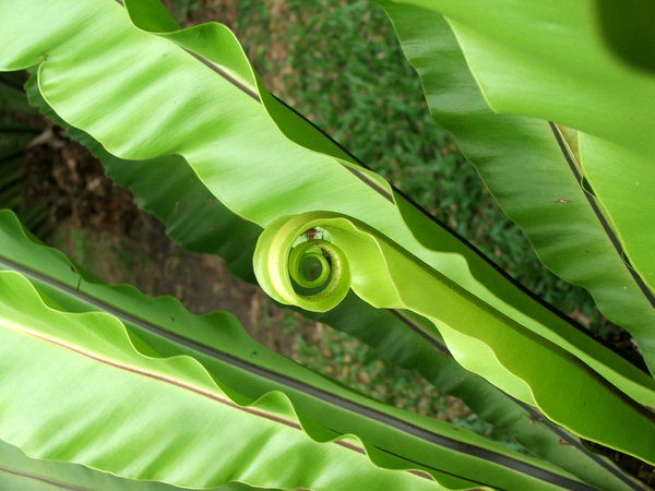 green curl: large tropical garden fern