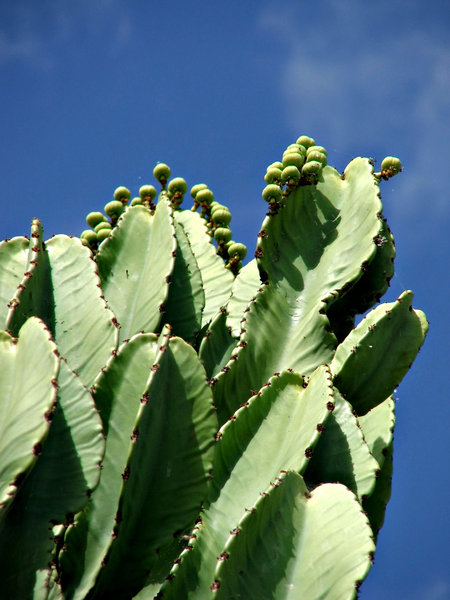 reaching for the sky: tall fruiting cacti