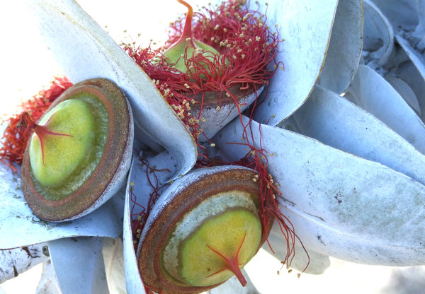 great seedpod colour: large Australian gum tree (eucalypts) flowers and seed pods - Eucalyptus Macrocarpa - Mottlecah