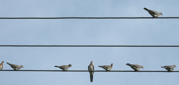 what's the score? Musical bird: birds on the wire - 8 wild Australian doves spread along power lines eyeing photographer