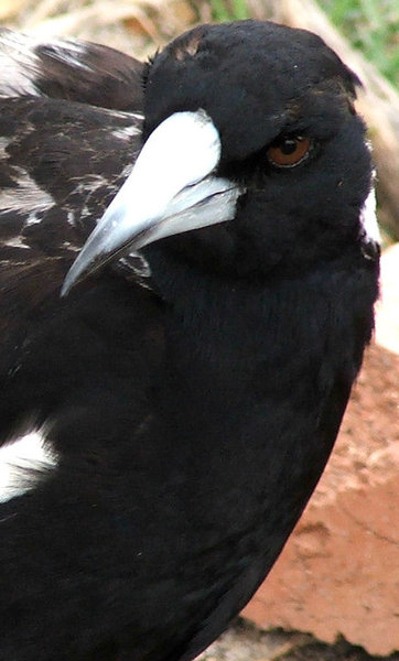 watchful eye: alert Australia magpie