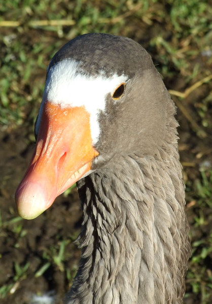 Don't be a goose?: white and mutlicoloured geese