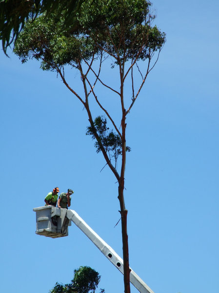 at work - up a tree: treeloppers at work