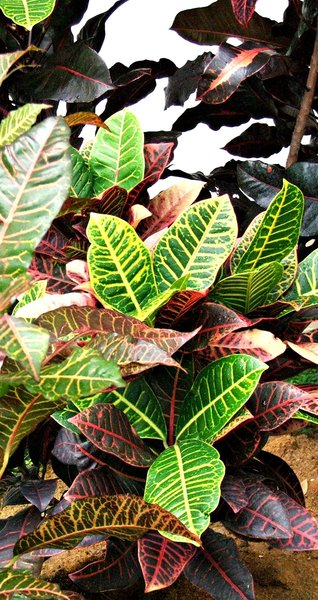 ornamental leaves: foliage plants with ornamental leaves