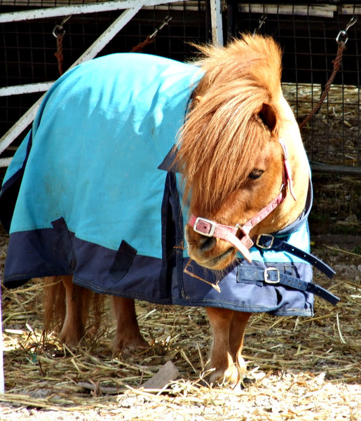 undercover pony: circus miniature horses - Shetland ponies, covered with horse blanket and resting before the show