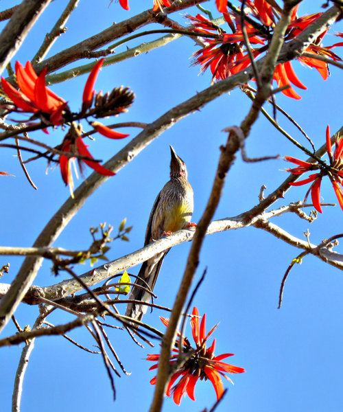hunting for honey: red wattle bird - honeyeater