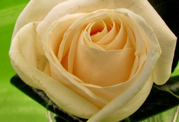 day-old rose buttonhole2: wedding day creamy-white rose buttonhole