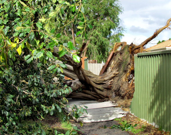 storm damage1: damage caused by large tree blown over during storm