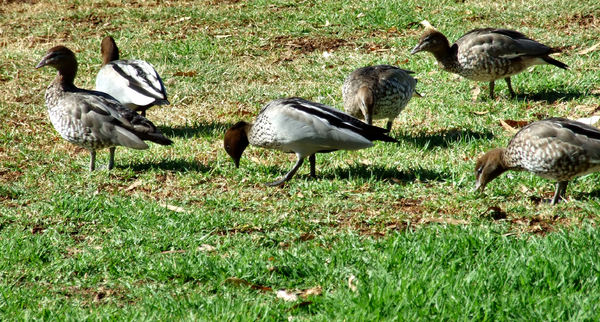family outing1: family of  Australian wood ducks out foraging