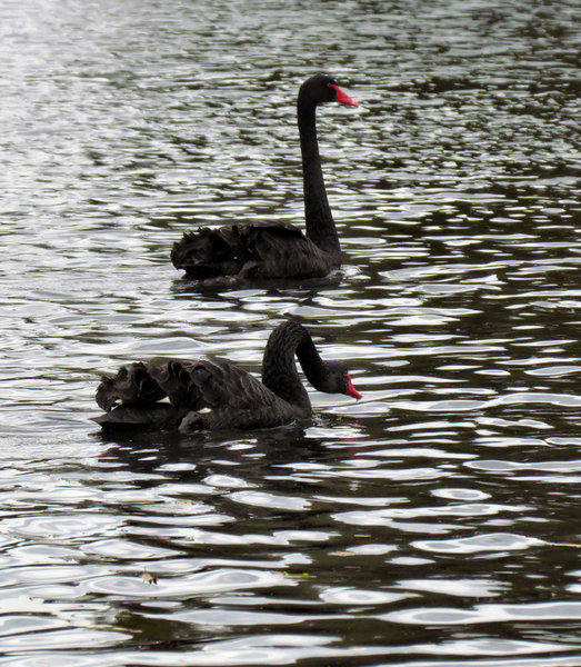 swan-ing on the river1: black swans swimming in river