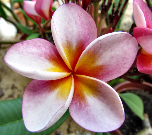 frangipani colour8: delicate and colourful frangipani flowers
