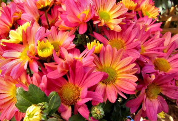 colourful chrysanthemums1: Mother's Day flower pot of varied coloured chrysanthemums