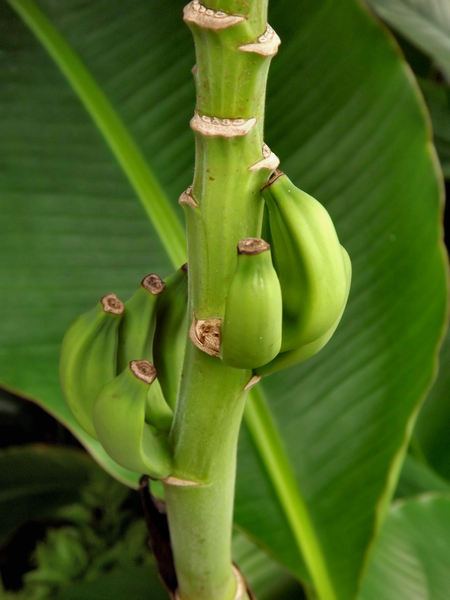 banana growth3: green immature growing bananas