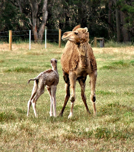 camel company3b: camel with young calf