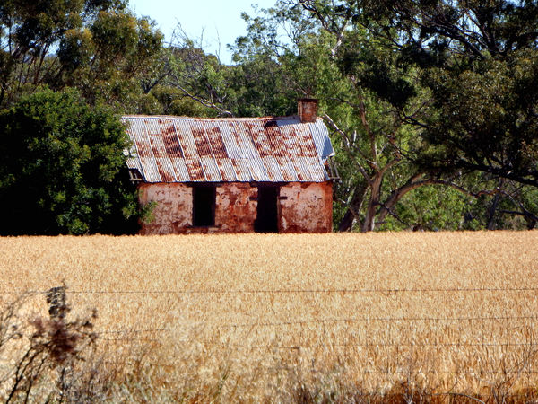 wheatfield ruins1: old building remains & ruins in wheat filed ready for harvesting