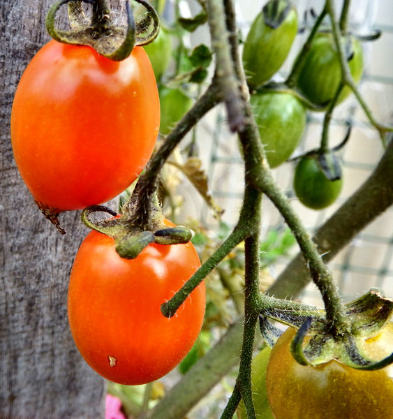 ripening tomatoes2: ripening tomatoes on the vine/plant