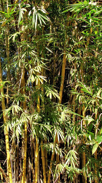 bamboo background2: clump of yellow bamboo