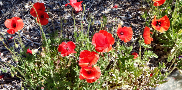 red poppies3: red poppies in the garden