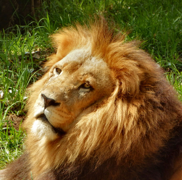 king of cats2: male lion resting in his enclosure