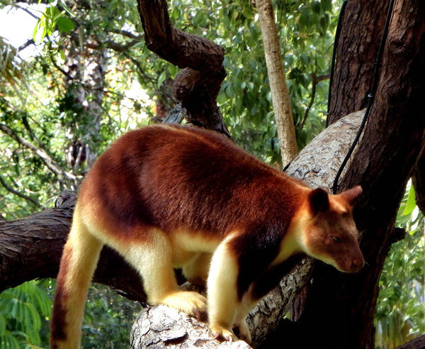 PNG tree kangaroo5: rare and endangered Goodfellow's tree kangaroo from Papua New Guinea