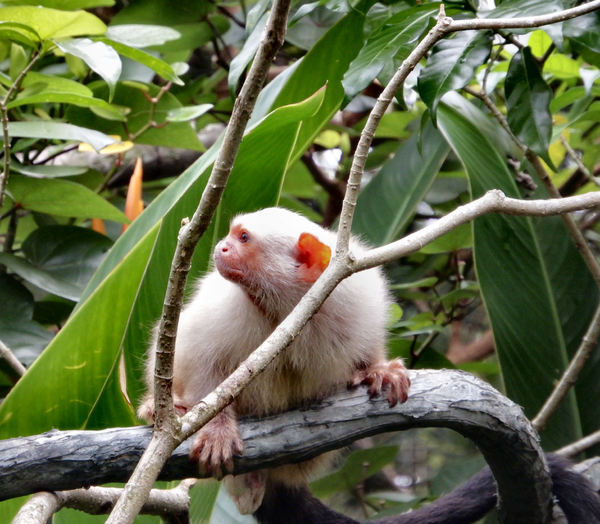 silvery marmoset1: small white New World monkey