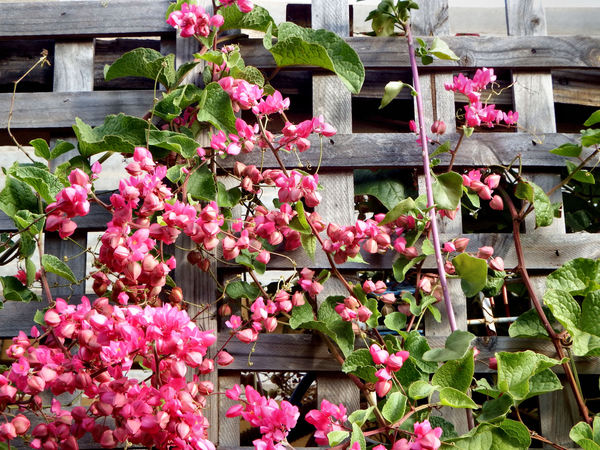 trellis pink3: pink flowering creeper intertwined through wooden trellis