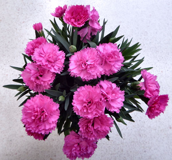 pink carnations2: growing potted bunch of pink carnations