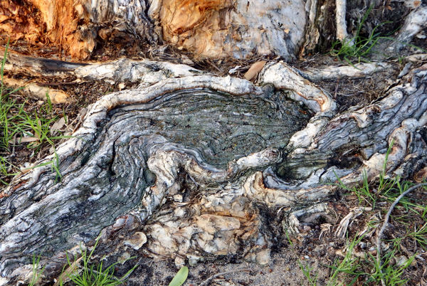 exposed tree root patterns1: abstract textured exposed root system of an Australian Melaleuca