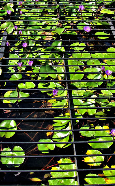 beauty breaking through2: water lilies growing through grille protected pond